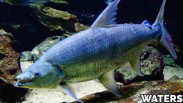 1 most dangerous fresh water fish goliath tigerfish