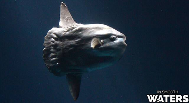 10 largest ocean fish sunfish