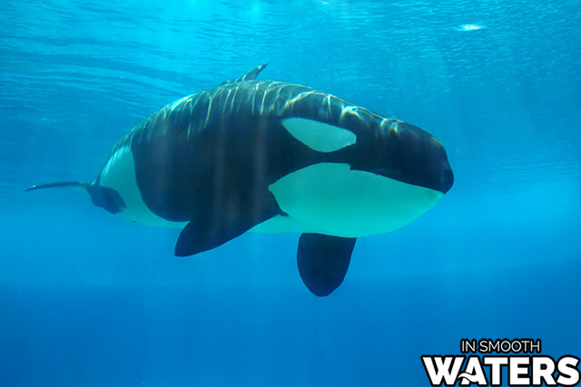 10 marine animals strongest bite killer whale 2