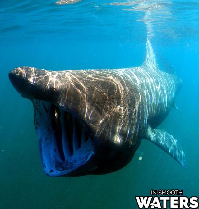 2 giant ocean fish basking shark