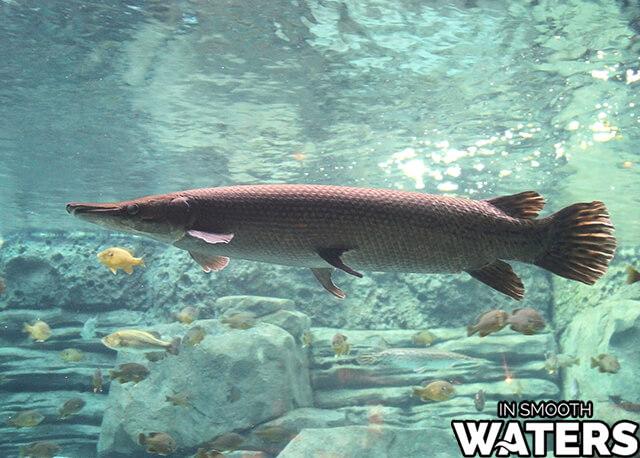 2 large fresh water fish alligator gar