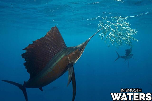 2 quickest fish sailfish