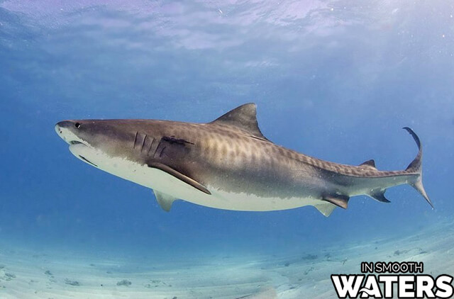 3 large ocean fish tiger shark