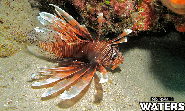 3 very dangrous fish in ocean red lionfish