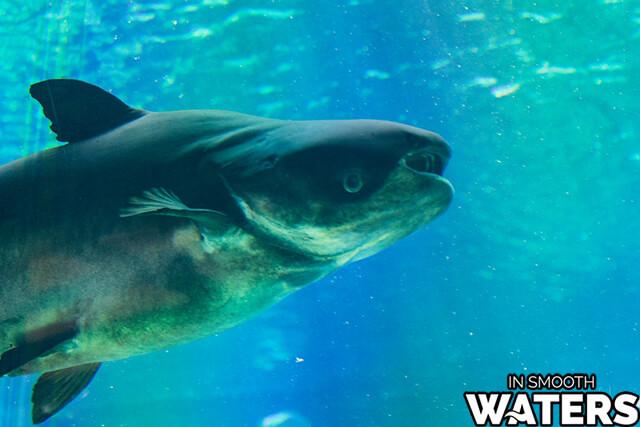 4 largest fresh water fish mekong giant catfish