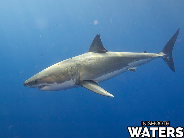 4 marine animals with strongest bite great white shark