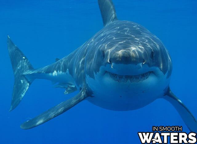 4 most dangrous ocean water fish great white shark
