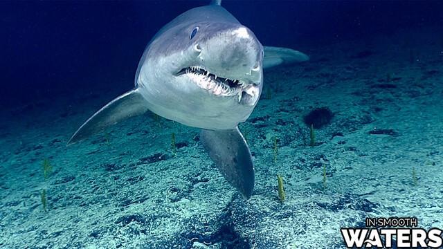 5 most dangrous fish tiger shark 2