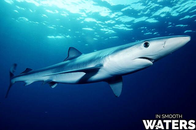 6 most quick fish blue shark