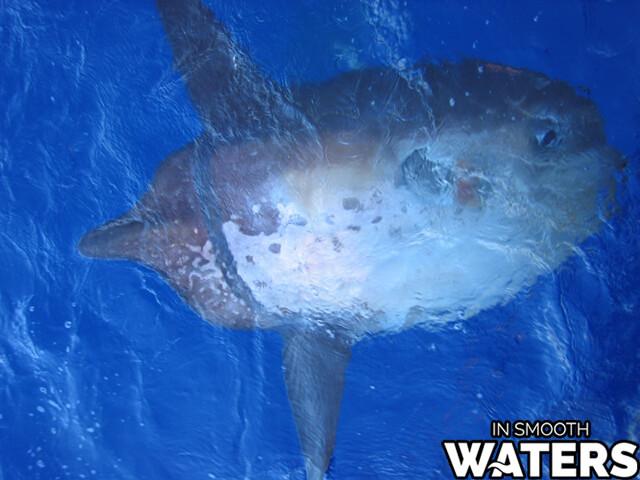 7 large ocean fish sharptail