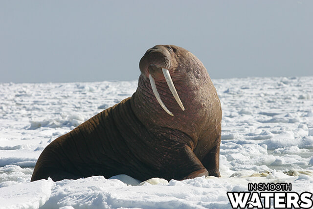 7 strongest bite marine animals walrus