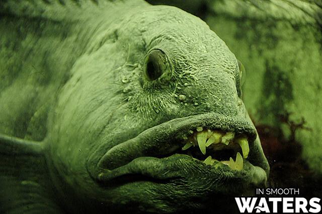 7 ugliest fish in ocean wolffish 2