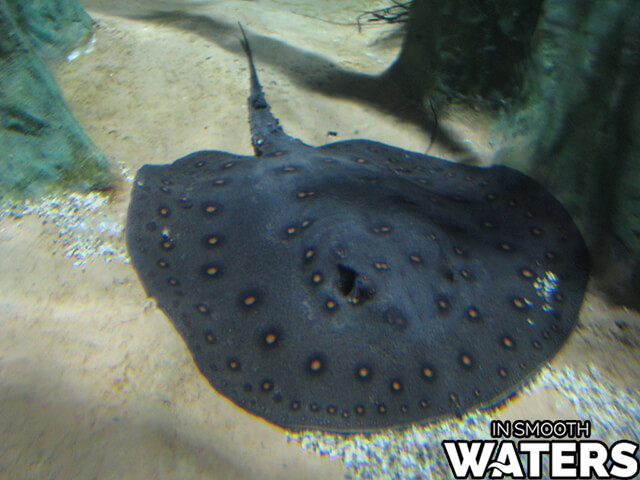 7 very dangerous freshwater fish giant stingray