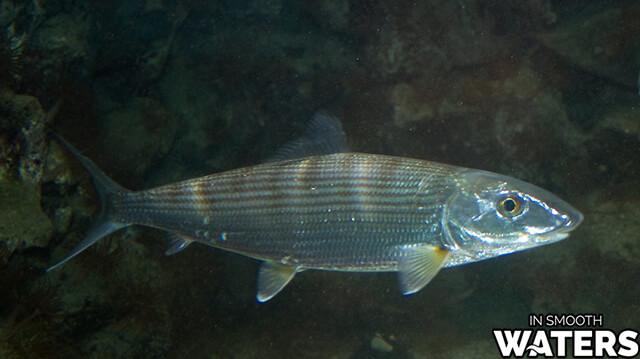 7 very quick fish bonefish