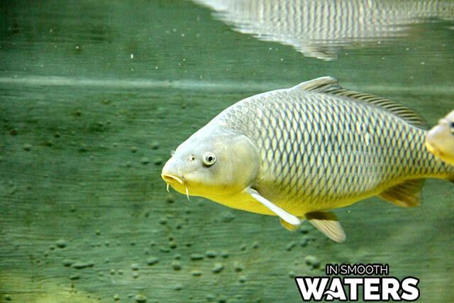 8 fish with longest life carp river fish