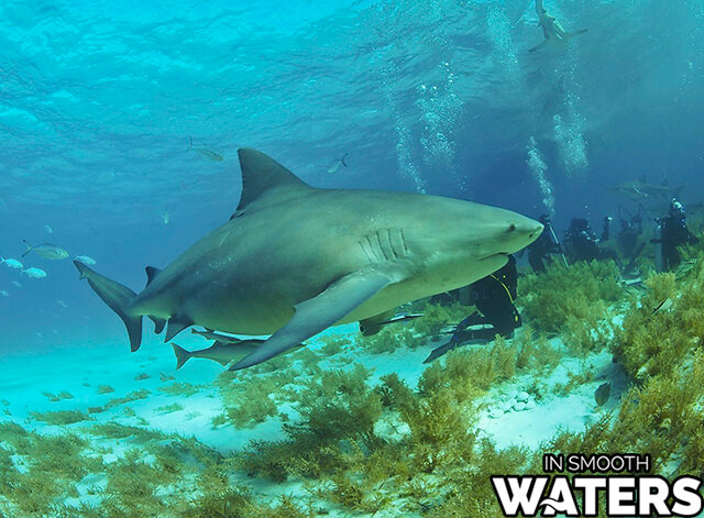 8 giant fresh water fish bull shark