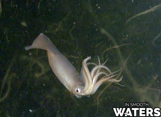 8 marine animals with strongest bite humboldt squid