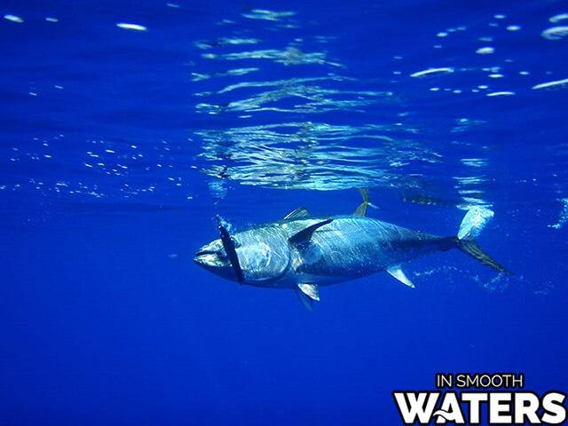 8 most quick fish atlantic bluefin tuna 2