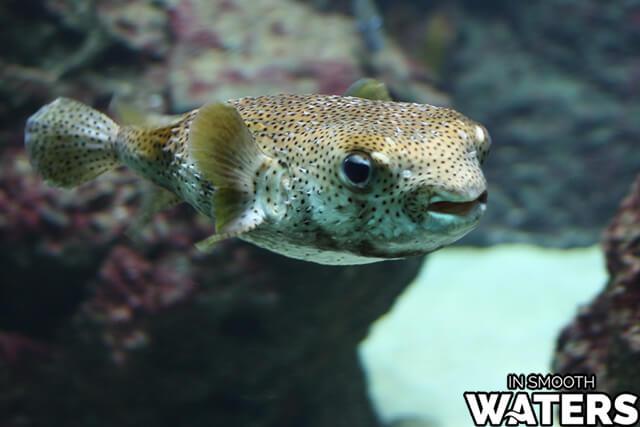 8 very dangrous fish pufferfish