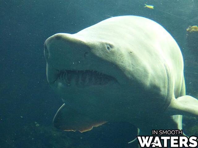 9 fresh water dangerous fish bull shark